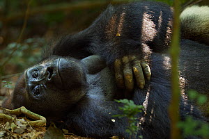 Western lowland gorilla (Gorilla gorilla gorilla) dominant male silverback 'Makumba' aged 32 years resting on his back on the forest floor, Bai Hokou, Dzanga Sangha Special Dense Forest Reserve, Centr... - Anup Shah