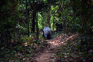 Western lowland gorilla (Gorilla gorilla gorilla) rear view of dominant male silverback 'Makumba' aged 32 years walking along a forest trail, Bai Hokou, Dzanga Sangha Special Dense Forest Reserve, Cen...  -  Anup Shah