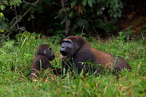 Western lowland gorilla (Gorilla gorilla gorilla) sub-adult male 'Kunga' aged 13 years playing with juvenile male 'Tembo' aged 4 years in Bai Hokou, Dzanga Sangha Special Dense Forest Reserve, Central...  -  Anup Shah