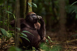 Western lowland gorilla (Gorilla gorilla gorilla) juvenile male 'Mobangi' aged 5 years feeding on fruit while sitting on the forest floor, Bai Hokou, Dzanga Sangha Special Dense Forest Reserve, Centra...  -  Anup Shah