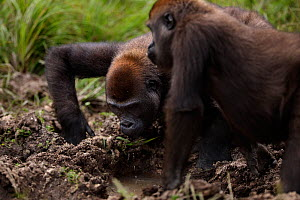Western lowland gorilla (Gorilla gorilla gorilla) sub-adult female 'Mosoko' aged 8 years and juvenile male 'Mobangi' aged 5 years drinking from a dirty pool of water in Bai Hokou, Dzanga Sangha Specia...  -  Anup Shah