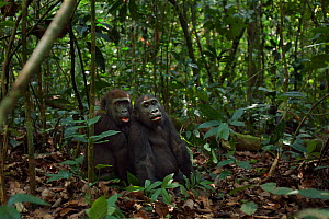 Western lowland gorilla (Gorilla gorilla gorilla) juvenile males 'Mobangi' aged 5 years and 'Tembo' aged 4 years sitting together in the forest, Bai Hokou, Dzanga Sangha Special Dense Forest Reserve,... - Anup Shah
