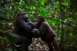 Western lowland gorilla (Gorilla gorilla gorilla) sub-adult male 'Kunga' aged 13 years playing with juvenile male 'Mobangi' aged 5 years, Bai Hokou, Dzanga Sangha Special Dense Forest Reserve, Central...  -  Anup Shah