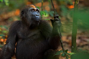 Western lowland gorilla (Gorilla gorilla gorilla) juvenile male 'Mobangi' aged 5 years sitting on the forest floor, Bai Hokou, Dzanga Sangha Special Dense Forest Reserve, Central African Republic. Dec...  -  Anup Shah
