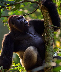Western lowland gorilla (Gorilla gorilla gorilla) dominant male silverback 'Makumba' aged 32 years sitting in a tree, Bai Hokou, Dzanga Sangha Special Dense Forest Reserve, Central African Republic. D... - Anup Shah