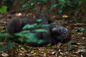 Western lowland gorilla (Gorilla gorilla gorilla) juvenile male 'Mobangi' aged 5 years resting on back on the forest floor, Bai Hokou, Dzanga Sangha Special Dense Forest Reserve, Central African Repub... - Anup Shah