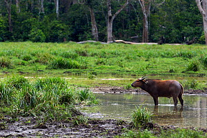 Forest buffalo (Syncerus caffer nanus) standing and urinating in a river running through Bai Hokou, Dzanga Sangha Special Dense Forest Reserve, Central African Republic. December 2011.  -  Anup Shah
