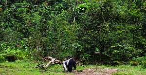 Western lowland gorilla (Gorilla gorilla gorilla) dominant male silverback 'Makumba' aged 32 years walking at the edge of the forest, Bai Hokou, Dzanga Sangha Special Dense Forest Reserve, Central Afr...  -  Anup Shah