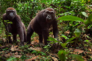 Western lowland gorilla (Gorilla gorilla gorilla) sub-adult female 'Mosoko' aged 8 years and juvenile male 'Mobangi' aged 5 years approaching with curiosity, Bai Hokou, Dzanga Sangha Special Dense For...  -  Anup Shah