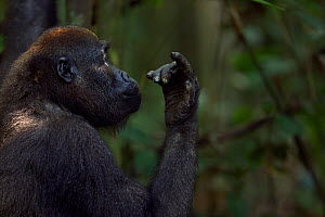 Western lowland gorilla (Gorilla gorilla gorilla) juvenile female 'Bokata' aged 6 years head and shoulders portrait looking at fingers, Bai Hokou, Dzanga Sangha Special Dense Forest Reserve, Central A...  -  Anup Shah