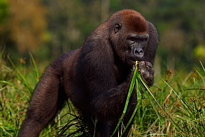 Western lowland gorilla (Gorilla gorilla gorilla) sub-adult male 'Kunga' aged 13 years feeding on sedge grasses in Bai Hokou, Dzanga Sangha Special Dense Forest Reserve, Central African Republic. Dece...  -  Anup Shah