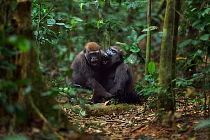 Western lowland gorilla (Gorilla gorilla gorilla) sub-adult female 'Mosoko' aged 8 years playing with juvenile male 'Mobangi' aged 5 years, Bai Hokou, Dzanga Sangha Special Dense Forest Reserve, Centr...  -  Anup Shah