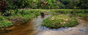 Western lowland gorilla (Gorilla gorilla gorilla) sub-adult female 'Mosoko' aged 8 years walking bi-pedally across a river, Bai Hokou, Dzanga Sangha Special Dense Forest Reserve, Central African Repub...  -  Anup Shah