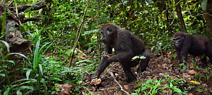 Western lowland gorilla (Gorilla gorilla gorilla) sub-adult female 'Mosoko' aged 8 years following juvenile male 'Mobangi' aged 5 years for his food, Bai Hokou, Dzanga Sangha Special Dense Forest Rese... - Anup Shah