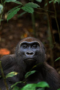 Western lowland gorilla (Gorilla gorilla gorilla) sub-adult female 'Mosoko' aged 8 years sitting amongst vegetation, Bai Hokou, Dzanga Sangha Special Dense Forest Reserve, Central African Republic. De...  -  Anup Shah