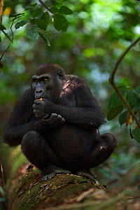 Western lowland gorilla (Gorilla gorilla gorilla) sub-adult female 'Mosoko' aged 8 years sitting on a fallen tree feeding on fruit, Bai Hokou, Dzanga Sangha Special Dense Forest Reserve, Central Afric... - Anup Shah