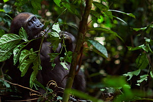 Western lowland gorilla (Gorilla gorilla gorilla) juvenile male 'Mobangi' aged 5 years feeding on leaves, Bai Hokou, Dzanga Sangha Special Dense Forest Reserve, Central African Republic. December 2011...  -  Anup Shah