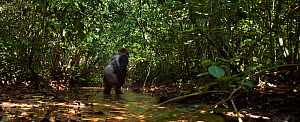 Western lowland gorilla (Gorilla gorilla gorilla) dominant male silverback 'Makumba' aged 32 years walking bi-pedally across a river, Bai Hokou, Dzanga Sangha Special Dense Forest Reserve, Central Afr... - Anup Shah
