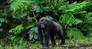 Western lowland gorilla (Gorilla gorilla gorilla) sub-adult female 'Mosoko' aged 8 years walking in Bai Hokou, Dzanga Sangha Special Dense Forest Reserve, Central African Republic. November 2011.  -  Anup Shah