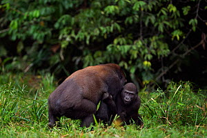 Western lowland gorilla (Gorilla gorilla gorilla) sub-adult male 'Kunga' aged 13 years playing with juvenile male 'Tembo' aged 4 years, Bai Hokou, Dzanga Sangha Special Dense Forest Reserve, Central A...  -  Anup Shah