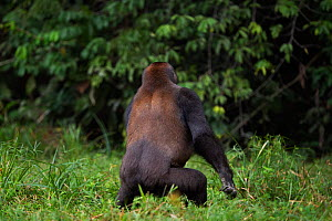 Western lowland gorilla (Gorilla gorilla gorilla) sub-adult male 'Kunga' aged 13 years pirouetting with excitement, Bai Hokou, Dzanga Sangha Special Dense Forest Reserve, Central African Republic. Dec...  -  Anup Shah