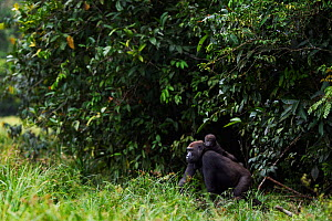 Western lowland gorilla (Gorilla gorilla gorilla) female 'Mopambi' carrying her infant 'Sopo' aged 18 months on her back emerging from the forest into Bai Hokou, Dzanga Sangha Special Dense Forest Res...  -  Anup Shah