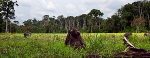 Western lowland gorilla (Gorilla gorilla gorilla) juvenile male 'Mobangi' aged 5 years feeding on sedge grasses in a bai with the rest of his group, Bai Hokou, Dzanga Sangha Special Dense Forest Reser...  -  Anup Shah