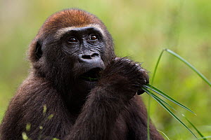 Western lowland gorilla (Gorilla gorilla gorilla) juvenile male 'Mobangi' aged 5 years feeding on sedge grasses in Bai Hokou, Dzanga Sangha Special Dense Forest Reserve, Central African Republic. Dece...  -  Anup Shah