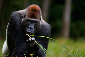 Western lowland gorilla (Gorilla gorilla gorilla) dominant male silverback 'Makumba' aged 32 years feeding on sedge grasses in Bai Hokou, Dzanga Sangha Special Dense Forest Reserve, Central African Re...  -  Anup Shah