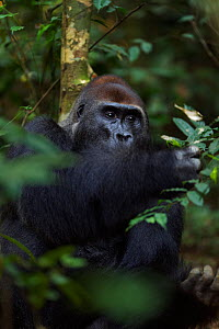 Western lowland gorilla (Gorilla gorilla gorilla) dominant male silverback 'Makumba' aged 32 years feeding on leaves, Bai Hokou, Dzanga Sangha Special Dense Forest Reserve, Central African Republic. D...  -  Anup Shah