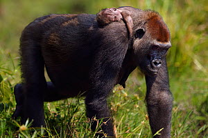 Western lowland gorilla (Gorilla gorilla gorilla) female 'Malui' carrying her stillborn infant on her back, Bai Hokou, Dzanga Sangha Special Dense Forest Reserve, Central African Republic. December 20...  -  Anup Shah