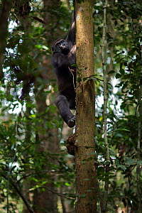 Western lowland gorilla (Gorilla gorilla gorilla) sub-adult male 'Kunga' aged 13 years climbing down a tree, Bai Hokou, Dzanga Sangha Special Dense Forest Reserve, Central African Republic. December 2... - Anup Shah