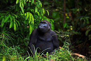 Western lowland gorilla (Gorilla gorilla gorilla) sub-adult female 'Mosoko' aged 8 years sitting portrait, Bai Hokou, Dzanga Sangha Special Dense Forest Reserve, Central African Republic. December 201...  -  Anup Shah