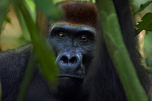 Western lowland gorilla (Gorilla gorilla gorilla) sub-adult male 'Kunga' aged 13 years peering through branches, Bai Hokou, Dzanga Sangha Special Dense Forest Reserve, Central African Republic. Decemb...  -  Anup Shah