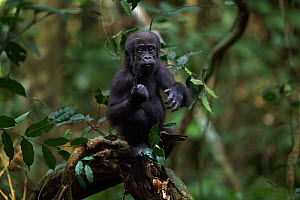 Western lowland gorilla (Gorilla gorilla gorilla) infant 'Sopo' aged 18 months reaching out for a hanging plant stem while playing in a tree, Bai Hokou, Dzanga Sangha Special Dense Forest Reserve, Cen... - Anup Shah