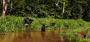Western lowland gorilla (Gorilla gorilla gorilla) juvenile male 'Tembo' aged 4 years crossing a river bi-pedally while dominant male silverback 'Makumba' aged 32 years and juvenile male 'Mobangi' aged...  -  Anup Shah