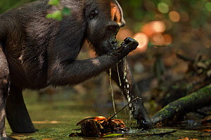 Western lowland gorilla (Gorilla gorilla gorilla) sub-adult female 'Mosoko' aged 8 years using her hand to scoop water from a river to drink, Bai Hokou, Dzanga Sangha Special Dense Forest Reserve, Cen...  -  Anup Shah