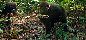 Western lowland gorilla (Gorilla gorilla gorilla) juvenile male 'Mobangi' aged 5 years feeding on seed pods, Bai Hokou, Dzanga Sangha Special Dense Forest Reserve, Central African Republic. December 2... - Anup Shah