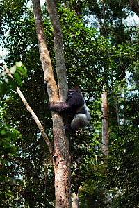 Western lowland gorilla (Gorilla gorilla gorilla) dominant male silverback 'Makumba' aged 32 years climbing down a tree, Bai Hokou, Dzanga Sangha Special Dense Forest Reserve, Central African Republic... - Anup Shah