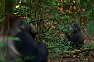 Western lowland gorilla (Gorilla gorilla gorilla) dominant male silverback 'Makumba' aged 32 years feeding on fruit with his son 'Tembo' aged 4 years sitting in the background, Bai Hokou, Dzanga Sangh... - Anup Shah