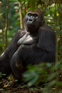 Western lowland gorilla (Gorilla gorilla gorilla) dominant male silverback 'Makumba' aged 32 years sitting portrait, Bai Hokou, Dzanga Sangha Special Dense Forest Reserve, Central African Republic. De... - Anup Shah