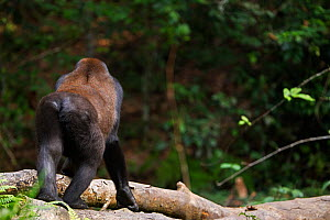 Western lowland gorilla (Gorilla gorilla gorilla) rear view of sub-adult male 'Kunga' aged 13 years walking along a fallen tree, Bai Hokou, Dzanga Sangha Special Dense Forest Reserve, Central African...  -  Anup Shah