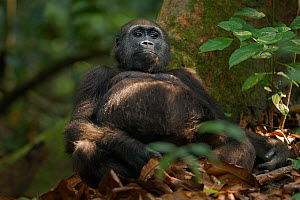 Western lowland gorilla (Gorilla gorilla gorilla) juvenile male 'Mobangi' aged 5 years sitting against a tree buttress, Bai Hokou, Dzanga Sangha Special Dense Forest Reserve, Central African Republic.... - Anup Shah