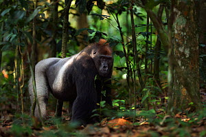 Western lowland gorilla (Gorilla gorilla gorilla) dominant male silverback 'Makumba' aged 32 years walking through the forest, Bai Hokou, Dzanga Sangha Special Dense Forest Reserve, Central African Re...  -  Anup Shah