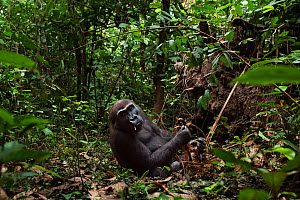 Western lowland gorilla (Gorilla gorilla gorilla) sub-adult female 'Mosoko' aged 8 years feeding on rotting wood, Bai Hokou, Dzanga Sangha Special Dense Forest Reserve, Central African Republic. Decem... - Anup Shah