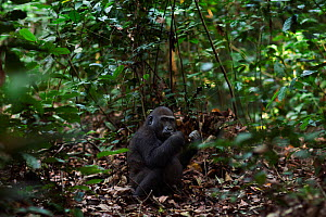 Western lowland gorilla (Gorilla gorilla gorilla) juvenile male 'Tembo' aged 4 years feeding while sitting on the forest floor, Bai Hokou, Dzanga Sangha Special Dense Forest Reserve, Central African R... - Anup Shah