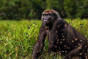Western lowland gorilla (Gorilla gorilla gorilla) female 'Malui' walking through a cloud of butterflies she has disturbed in Bai Hokou, Dzanga Sangha Special Dense Forest Reserve, Central African Repu...  -  Anup Shah