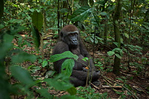 Western lowland gorilla (Gorilla gorilla gorilla) juvenile male 'Mobangi' aged 5 years sitting on the forest floor feeding on fruit, Bai Hokou, Dzanga Sangha Special Dense Forest Reserve, Central Afri... - Anup Shah