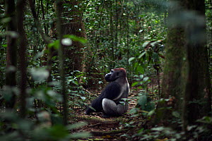 Western lowland gorilla (Gorilla gorilla gorilla) dominant male silverback 'Makumba' aged 32 years sitting in a forest clearing, Bai Hokou, Dzanga Sangha Special Dense Forest Reserve, Central African... - Anup Shah