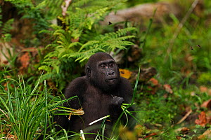 Western lowland gorilla (Gorilla gorilla gorilla) juvenile male 'Tembo' aged 4 years feeding on sedge grasses in Bai Hokou, Dzanga Sangha Special Dense Forest Reserve, Central African Republic. Decemb...  -  Anup Shah